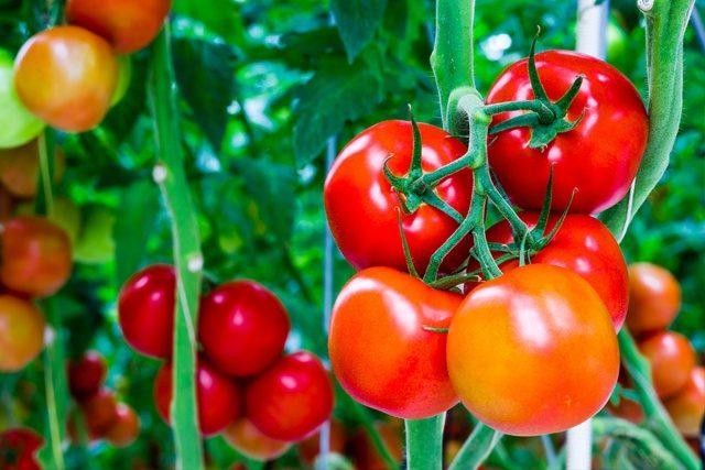 Masking of tomatoes