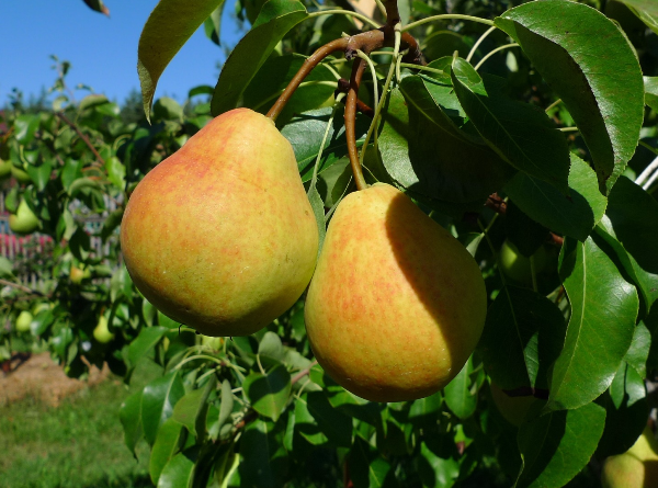 Pear Lada refers to early summer varieties