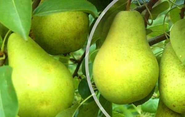 Fruits of Pervomayskaya variety can be saved up to 8 months