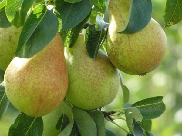 Frost-resistant pear variety Saratovka