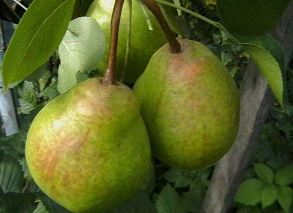 The pear Fairy-tale is characterized as tall and very fruitful grade