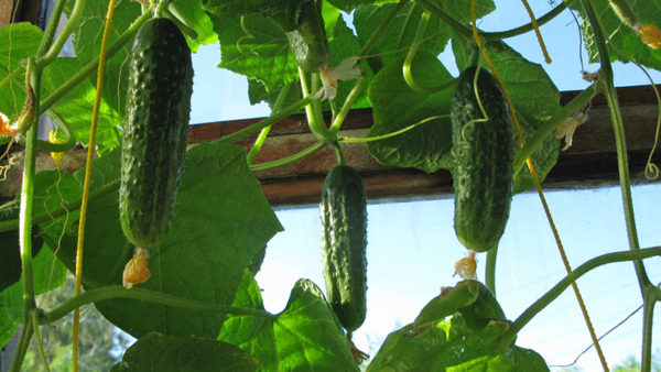 Cabbage, onions, legumes, corn grow well after cucumbers.