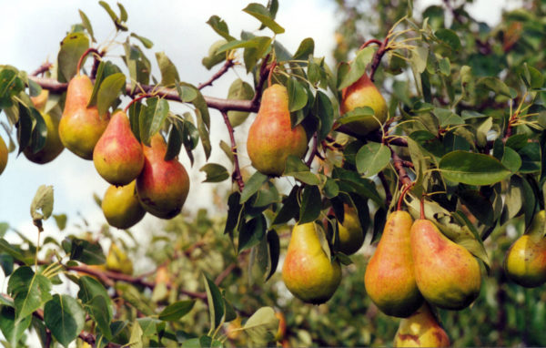 Variety pears Hilly