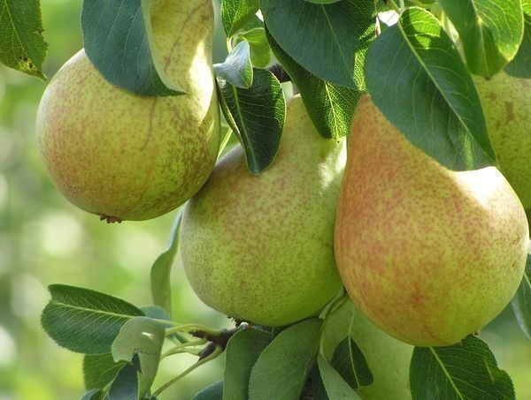Variety of pears for the middle band Allegro
