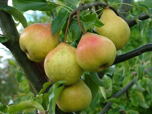 Variety of pears of high winter hardiness in memory of Yakovlev