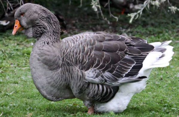 Toulouse geese are sensitive to changing weather