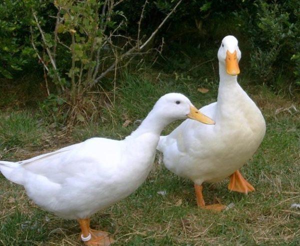 Blagovarskaya duck is not whimsical in food