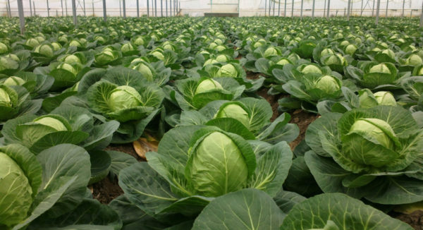 Cabbage is a great precursor for carrots