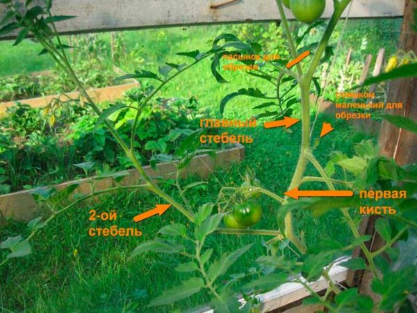The scheme of removal of excess shoots on tomatoes