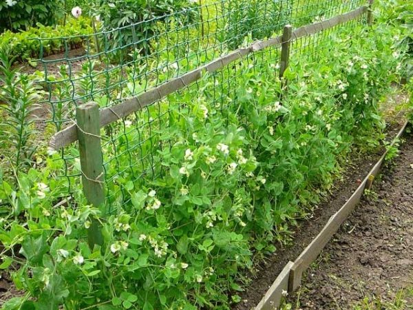 Plot for pea is chosen sunny, with a deep groundwater