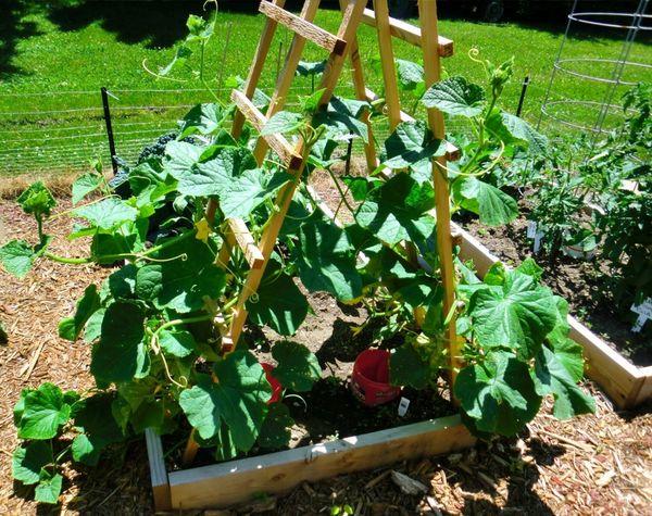 Proper cucumber pruning