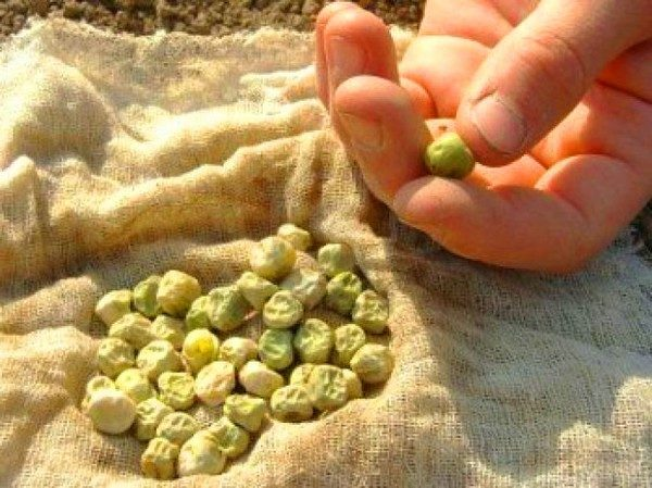 Calibrate peas before planting.