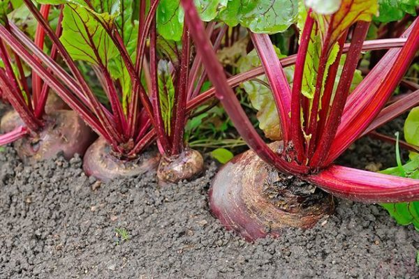 It is not advisable to plant carrots after beets