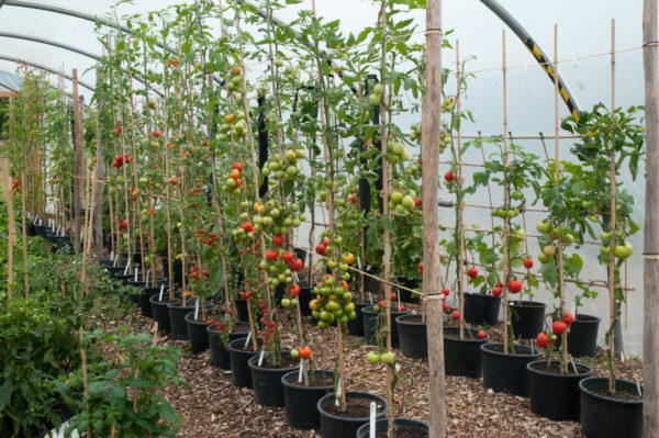 Tomatoes, formed in one stem