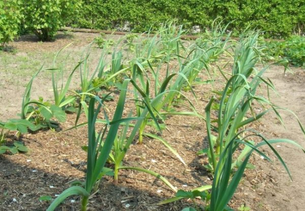 After garlic, cucumbers are planted next year